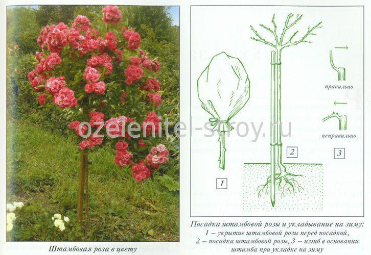 Роза штамбовая посадка и уход