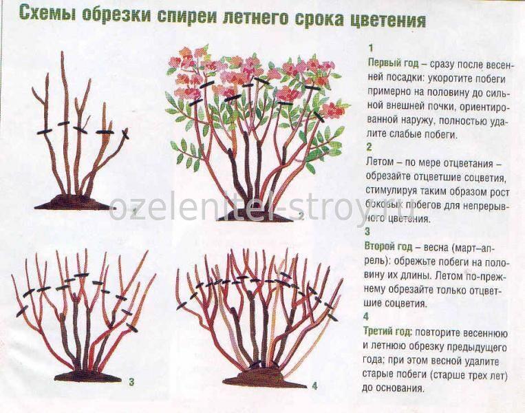 Стрижка спиреи серой после цветения