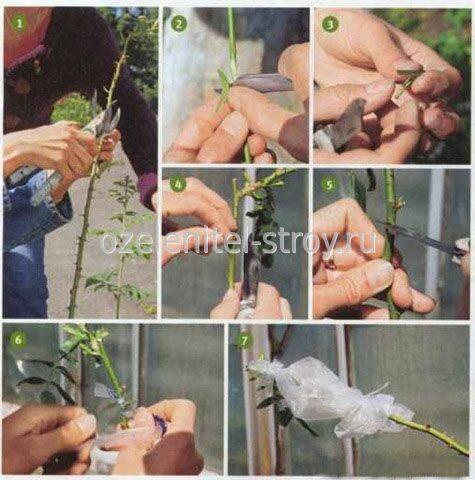 Роза уход и размножение в домашних условиях фото - Первая школа Юла