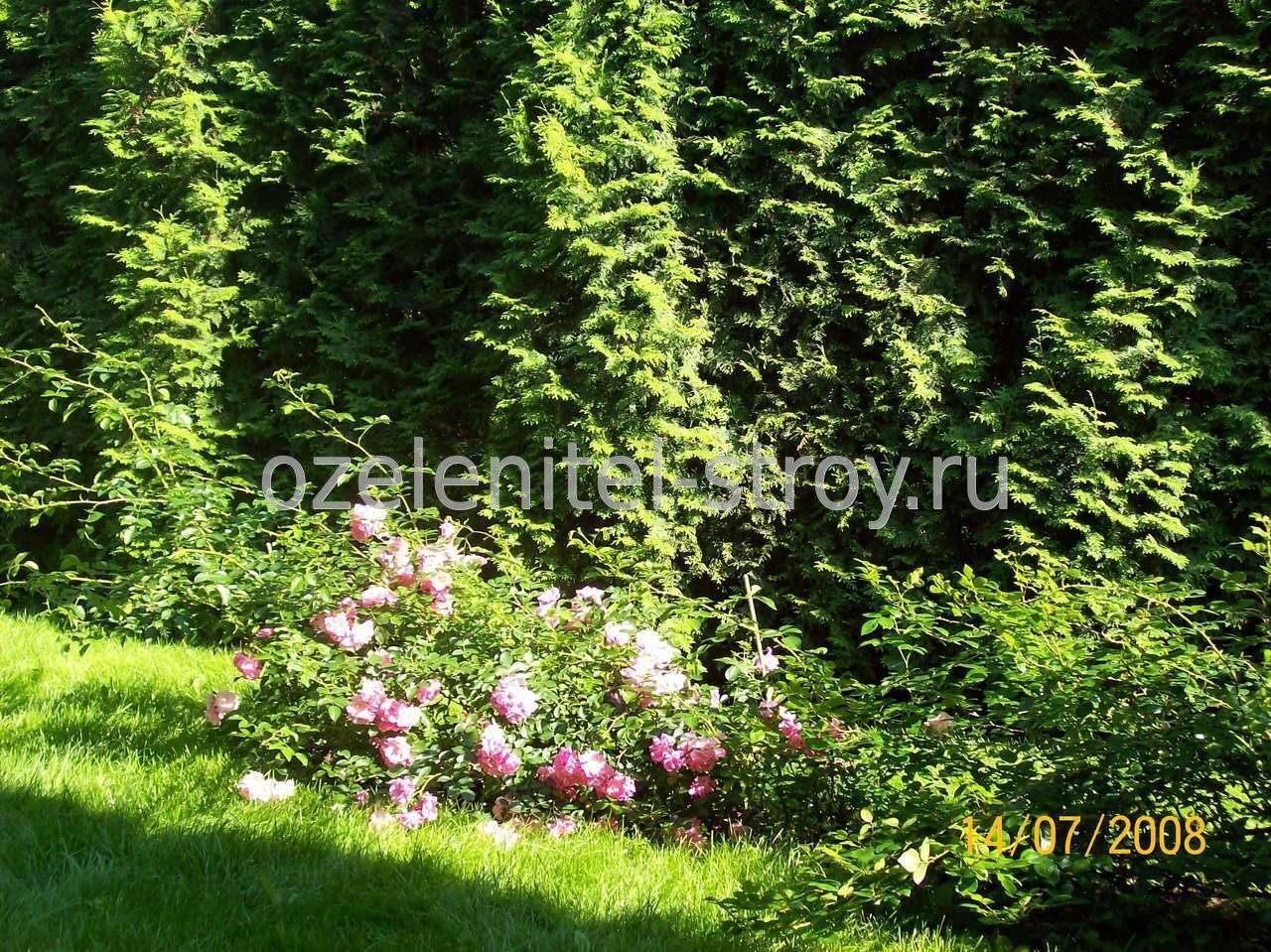 Плетистая роза в ландшафтном дизайне 1